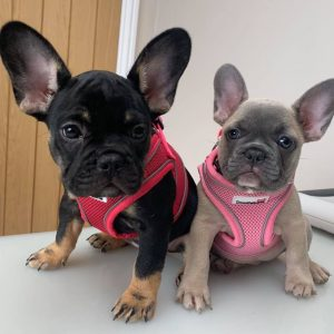 Frenchie pups